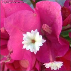 Bougainvillea bloom - a bright pink flower with a small white flower on the center.