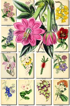 FLOWERS-138 Collection of 225 vintage images Tacsonia