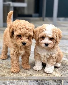 We Shared For You Cute Dogs And Puppies, They are so cute and lovely, please do not hurt them. Animals never leave you alone. Really Cute Puppies, Cute Little Puppies, Cute Little Animals, Cute Dogs And Puppies, Baby Puppies, Cute Funny Animals, Doggies, Toy Poodle Puppies, Teddy Bear Puppies