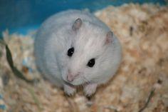hamsteri VIDOS