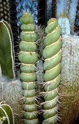 Eulychnia castanea cv. spiralis