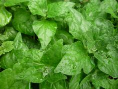 Tetragonia tetragonioides, New Zealand spinach Growing Vegetables, Native Plants, Permaculture, New Zealand, Spinach, Exterior, Organic, Garden, Easy