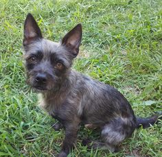 Brodie is an adoptable Yorkshire Terrier Yorkie searching for a forever family near Staten Island, NY. Use Petfinder to find adoptable pets in your area.