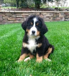 Our Christmas present 2014!  Max, a Bernese Mountain Dog, 8 weeks old......