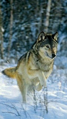 Look at this beautiful picture of a wolf running in the woods