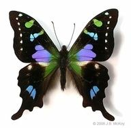 Purple-Spotted Swallowtail
