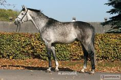 Polish Half-Bred Horse - stallion Sir Balisco