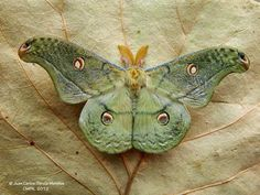Borboletas : Copaxa lavendera Stamped leather moth x Beautiful Creatures, Animals Beautiful, Cute Animals, Butterfly Kisses, Butterfly Art, Green Butterfly, Beautiful Bugs, Beautiful Butterflies, Cool Bugs