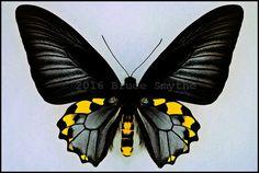 Troides Hypolitus Cellularis -Male -Seram, Indonesia -(5.5 in wingspan)
