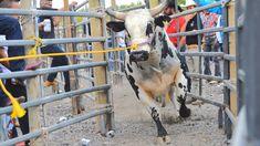 Bajando Toros Americanos de Reparo Some Pictures, Rodeo, Bull Riding, Rodeo Life