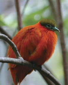 The Orange Fruit Dove (Ptilinopus victor), also known as Flame Dove, is a small, approximately 20 cm (8 in) long, short-tailed fruit-dove in the family Columbidae.  The Orange Dove is endemic to forests of Vanua Levu, Taveuni, Rabi, Kioa, Qamea and Laucala islands of Fiji.