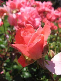 Drága Édesanyám! Dragon, Rose, Flowers, Plants, Pink, Dragons, Plant, Roses, Royal Icing Flowers