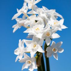 Paperwhite Daffodils | Order Daffodil Bulbs online | Bulbs Direct NZ Spring Flowering Bulbs, Spring Bulbs, Daffodil Bulbs, Daffodils, Iris Reticulata, Dutch Iris, Christmas Mix, Spring Garden, Spring Flowers