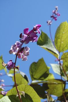 Collect the seeds of Purple Hyacinth Bean (Lablab purpurea) and plant next spring along a fence for gorgeous late summer and fall blooms. via Meg Turner