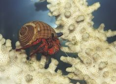 Contrary to their name, hermit crabs are social, active and adventurous pets and they need an inviting habitat in which to live.