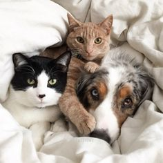 3 characters posing together and you know that dog is in her/his glory for 2 kitties to love you that is something special s#cats #dogs #adorable