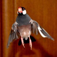 文鳥.in : Java sparrow #buncho とうっ!!