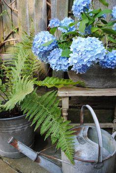 zinc flower pots watering can in shabby chic garden