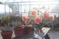 Withypitts grows Carolina Wagemanns, a pale apricot waterlily. Both the shape and colour of this dahlia is exquisite