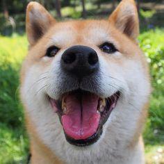 Pinを追加しました!/あはは  #shiba #dog #komugi #柴犬 #shibainu