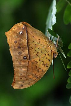 ~~Butterfly or Leaf Butterfly...