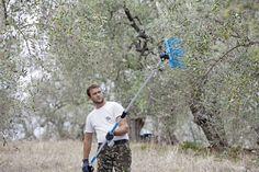 Händisch werden die Oliven geerntet…