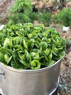 """Salaten """"Little Gem"""" i stor potte - stor suksess! - DET GRØNNE SKAFFERI Lettuce, Spinach, Gems, Vegetables, Rhinestones, Gemstones, Vegetable Recipes, Salad, Emerald"""