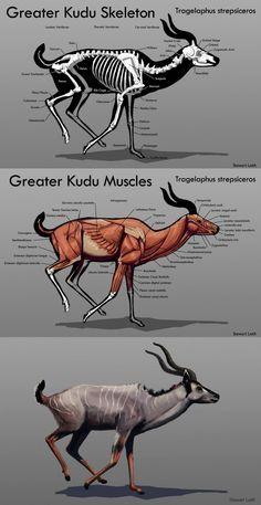 kudu skeleton - Recherche Google