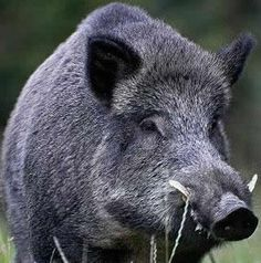Wild Boar Hunting, Pig Hunting, Hunting Tips, Animals Of The World, Animals And Pets, Animal Heads, My Animal, Hog Pig, Hunting Videos