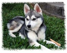 Toy Alaskan Klee Kai.....a breed of husky that doesn't get as large, maybe one day :)
