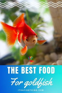 Every animal on earth has a particular diet, things they would normally eat, and things they MUST have in their diet to thrive and be strong and healthy. Goldfish are no different. Discover the best foods for goldfish in our guide. Goldfish Care, Goldfish Food, Comet Goldfish, Planted Aquarium, Aquarium Fish, Fish Tank Cleaning, Fishing For Beginners, Pet Fish, Freshwater Aquarium
