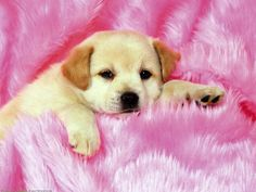 314 Best Puppies Wallpaper Images Pets Cute Puppies Fluffy Animals