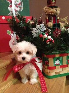 Maltese Puppy!! OMG. I would LOVE this for Christmas. Mom. Dad. Get on that.