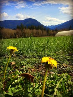There are many reasons to drink dandelion root tea, and it's fun and easy to dig your own roots, dry them, and make them into a delicious dr...