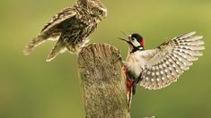 Wildlife Extra - Wildlife Photography - This amazing photo of a little owl and a woodpecker was taken by Dave Nay. Types Of Eagles, Ruffled Feathers, Short Eared Owl, Owl Photos, Animal Magic, Animal Habitats, British Wildlife, British Countryside, Beautiful Owl