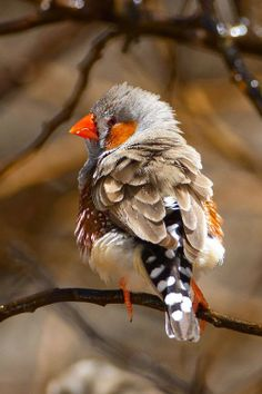 Zebra Finch.   ••••(KO) Multicolor bird, multi-pattern feathers. Beautiful orange beak and legs. Orange feathers here and there. Sweet little guy.