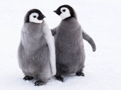 Penguin babys