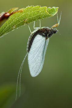 Mayfly by johnhallmen
