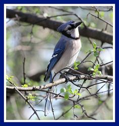 Blue Jays love peanuts in the shells.  If you want them to visit your garden just put some out in your bird feeder!