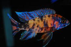 Aulonocara SP. (Hybrid), OB Peacock Cichlid | Aquarium Finatics