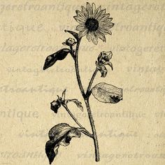 Flower Printable Graphic Image Antique Digital Plant Download Vintage Clip Art for Transfers Printing etc HQ 300dpi No.115B