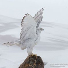 Gyrfalcon (Falco rusticolus) - The largest falcon in the world,