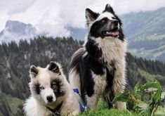 Unique Animals, Cute Little Animals, Cute Funny Animals, Cute Dogs, Spitz Breeds, Dog Breeds, Beautiful Dogs, Animals Beautiful, Purebred Dogs