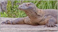psssst.....come closer,i have a secret to whisper to you,Komodo Dragon,Columbus Zoo,photo by Thomas Alexander