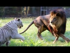 ▶ Big Cats in Slow Mo - YouTube