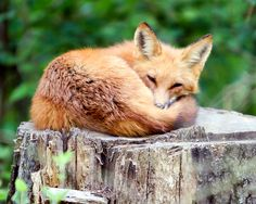 Kingdom of Animalia. Red fox.