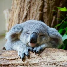 Koala is one of the laziest animals in the world, and there is only koala in Australia. The sleeping time for a koala is approximately 20 hours or even more every day​. Baby Koala, Cute Koala Bear, Funny Koala, Baby Otters, Cute Baby Animals, Animals And Pets, Funny Animals, Wild Animals, Nature Animals