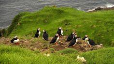 L'île Mykines est le paradis des oiseaux. Les macareux aiment venir s'y réfugier en famille.