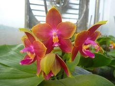 Phalaenopsis Mituo King Bellina 'Mituo #2' (Ld's Bear King X LD Bellina Eagle)