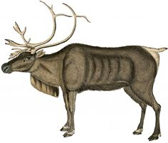 Free Vintage Reindeer Image - from around 1840's...